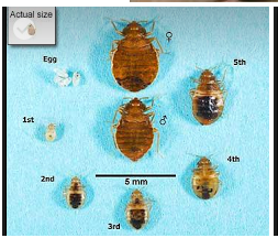 Picture  bed bug size's